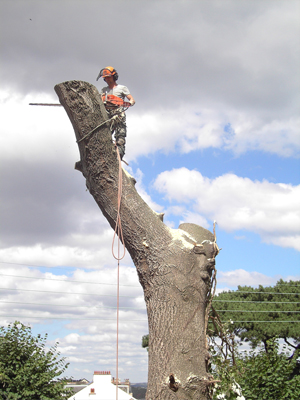 devon & south west tree surgeon and landscaping poplar 3