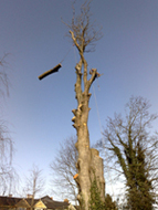 devon & south west tree surgeon dismantle