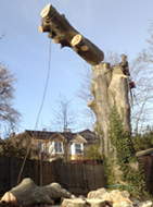 devon & south west tree surgeon dismantle2