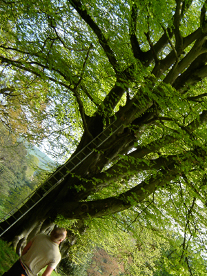 devon-&-south-west-tree-surgeon-and-landscaping-beech-tree-exeter