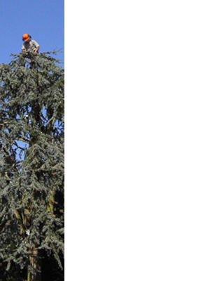 devon-&-south-west-tree-surgeon-and-landscaping-cedar-reduction