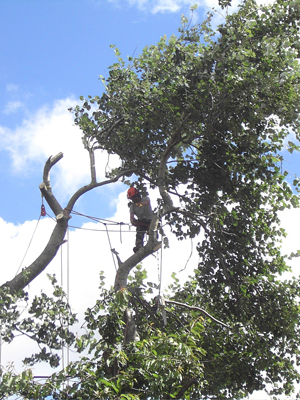 devon-&-south-west-tree-surgeon-and-landscaping-poplar-2