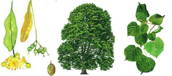 devon-tree-surgeon-small_leaved_lime