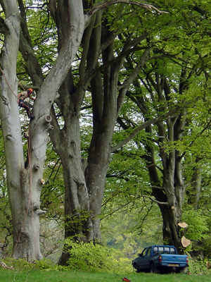 landscape-&-tree-surgery-south-west,-devon,-exeter-beech-trees